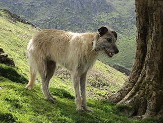 Lurcher - Longhaired Lurcher