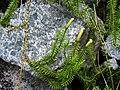 Lycopodium annotinum a1.jpg