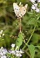 MANTIS, TEXAS UNICORN (Phyllovates chlorophaea) (10-30-2015) national butterfly center, mission, hidallgo co, tx -01 (22521726613).jpg