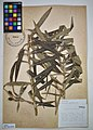 MNH DA 017-PAND-082 Freycinetia multiflora Merr.jpg