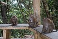 Macaque Monkeys from Monkey Hill, Phuket, Thailand (30980900597).jpg