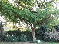 Maclura del Parc de la Ciutadella.JPG