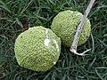Maclura pomifera fruit.JPG