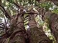 Magnolia (Árbore senlleira de Galicia) - panoramio.jpg