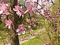 Magnolia Blossom - geograph.org.uk - 1803004.jpg