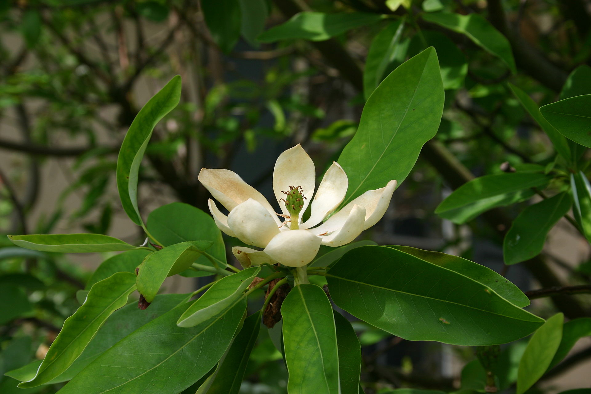 sumpf magnolie wikipedia. Black Bedroom Furniture Sets. Home Design Ideas