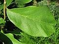 Magnolia x soulangeana 01 by Line1.jpg