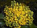 Mahonia aquifolium 2016-04-19 8026.jpg