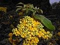 Mahonia aquifolium 2016-04-19 8160.jpg