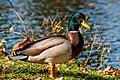Male Duck (128023449).jpeg