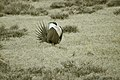 Male Greater Sage-Grouse (6948179740).jpg