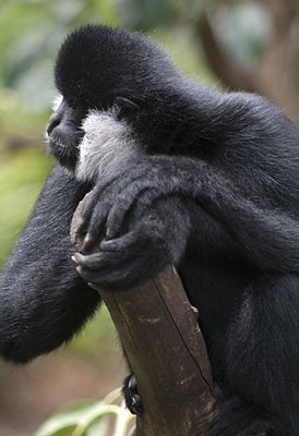 Male White-Cheeked Gibbon.jpg