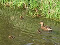 Mallard duck with ducklings on the Wendover Arm - geograph.org.uk - 1260627.jpg