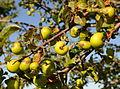 Malus sylvestris (villeple) epler.jpg