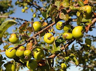 Jabloň planá - plody (plánky)