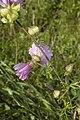 Malva moschata coteau-charteves 02 12072007 4.jpg