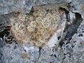 Mammillaria erythrosperma2.jpg