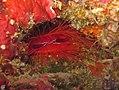 Manado 2-12-11 - 2 disco clam (6567955861).jpg