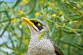 Manorina flavigula -Yulara, Northern Territory, Australia -head-8.jpg