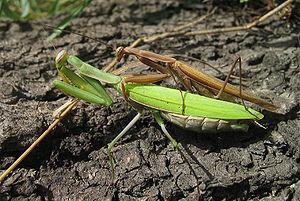European mantis - Image: Mantis religiosa couple