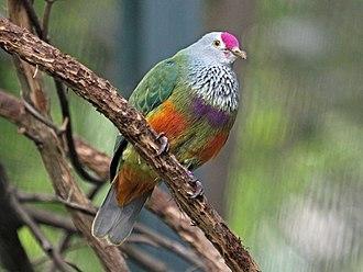 Mariana fruit dove - At San Diego Zoo