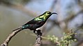 Marico sunbird, Cinnyris mariquensis, at Zaagkuildrift Road near Kgomo Kgomo, Limpopo, South Africa. Male (33498095241).jpg
