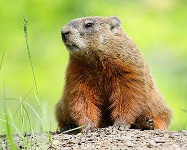 Groundhog (Marmota monax) on Laval University campus, Quebec.