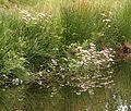 Marsh Valerian (Valeriana dioica) - geograph.org.uk - 199393.jpg