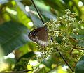 Mascarene Crow. Euploea euphon. Danainae - Flickr - gailhampshire.jpg