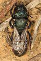 Mason Bee - Osmia species, Calpine, California.jpg