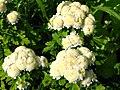 Matricaria eximia (cultivar) 01.JPG