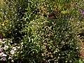 Matthiola bicornis 2021-06-05 7990.jpg