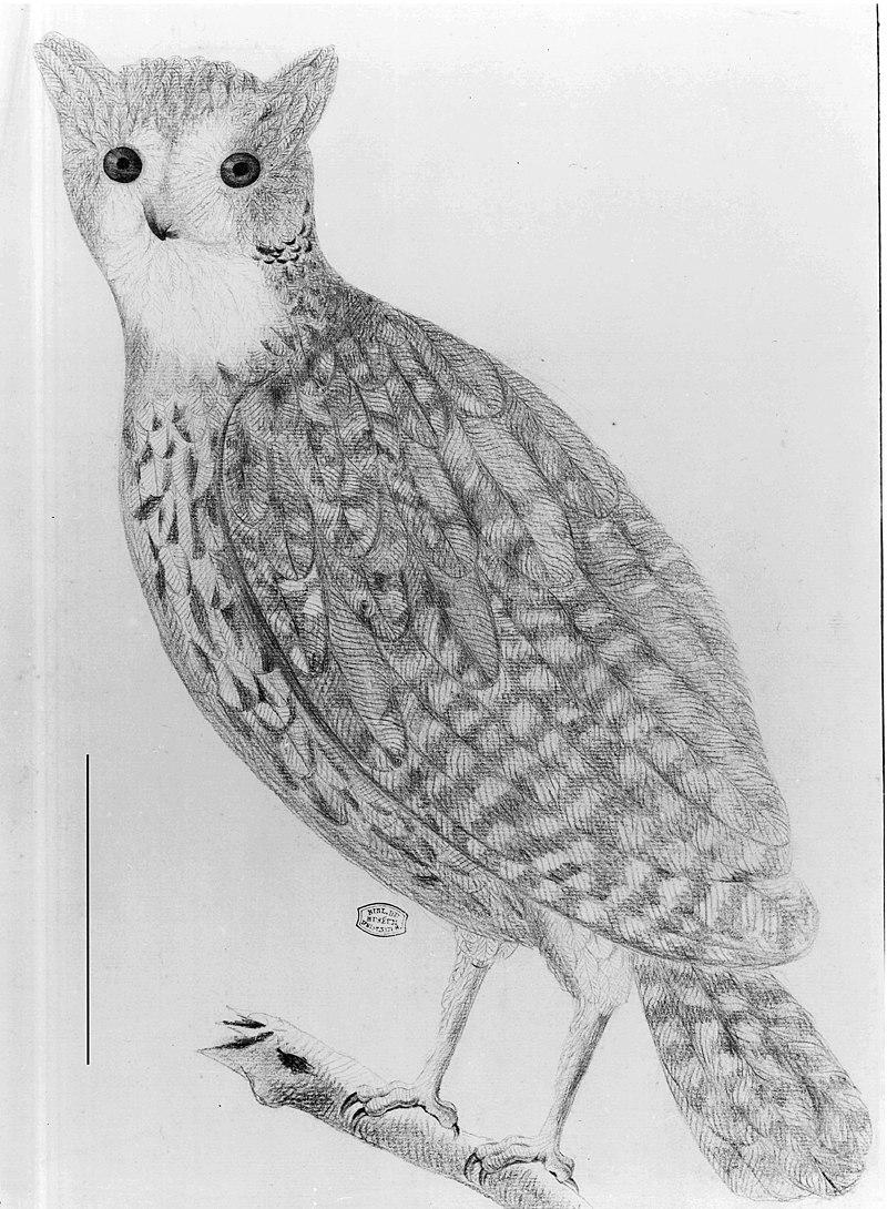 Mauritius owl.jpg