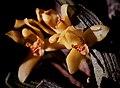 Maxillaria rufescens - fl 1.jpg