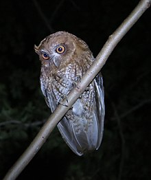 Megascops nudipes-Mucarito-Screech Owl of Puerto Rico.jpeg