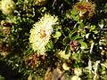 Melaleuca depressa (leaves, flowers).JPG