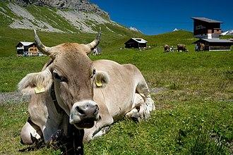 Kerns - Swiss cow in the high meadows near Melchsee-Frutt