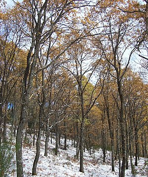 Quercus pyrenaica - Image: Melojar soto