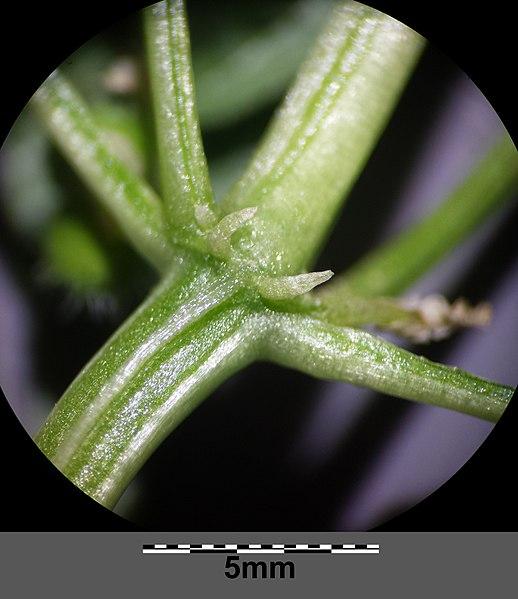 File:Mercurialis annua sl10.jpg