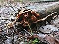 Merulius tremellosus 107575159.jpg
