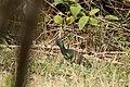 Mesembrinibis cayennensis (30035431143).jpg