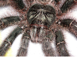 Avicularia metallica - Avic Close-Up
