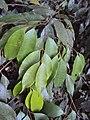Meteoromyrtus wynaadensis 22.JPG