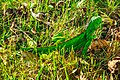 Miami - Fairchild Tropical Botanic Garden - green iguana (12260321226).jpg
