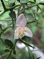 Microcitrus australasica flower.jpg