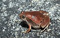 Microhyla rubra-Red narrow-mouthed frog.jpg