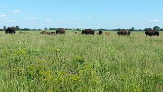 Midewin National Tallgrass Prairie - Bison at Midewin National Tallgrass Prairie in June 2016