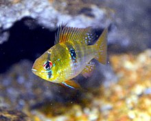 Mikrogeophagus ramirezi imported from Columbia.jpg