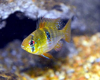 Ram cichlid species of fish