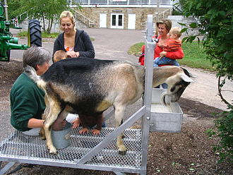 Minnesota Zoo - Milking a goat at the farm